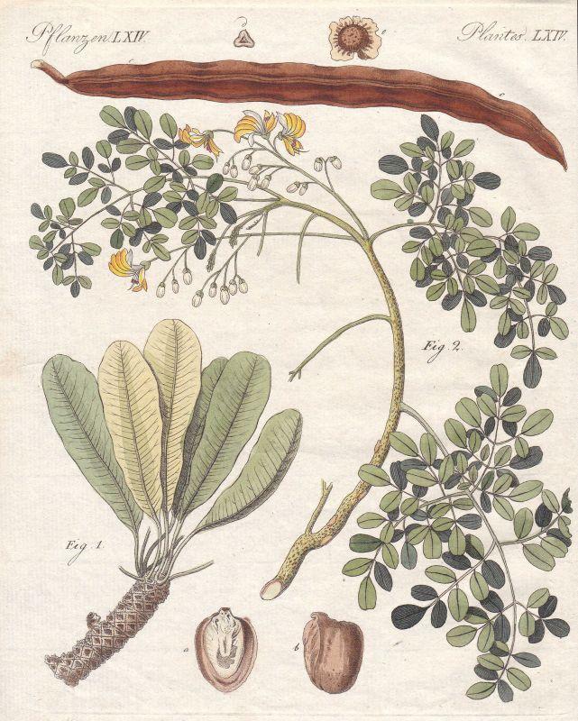 Pflanze plant Pflanzen plants Baum tree Bäume trees Butterbaum Bertuch 1800
