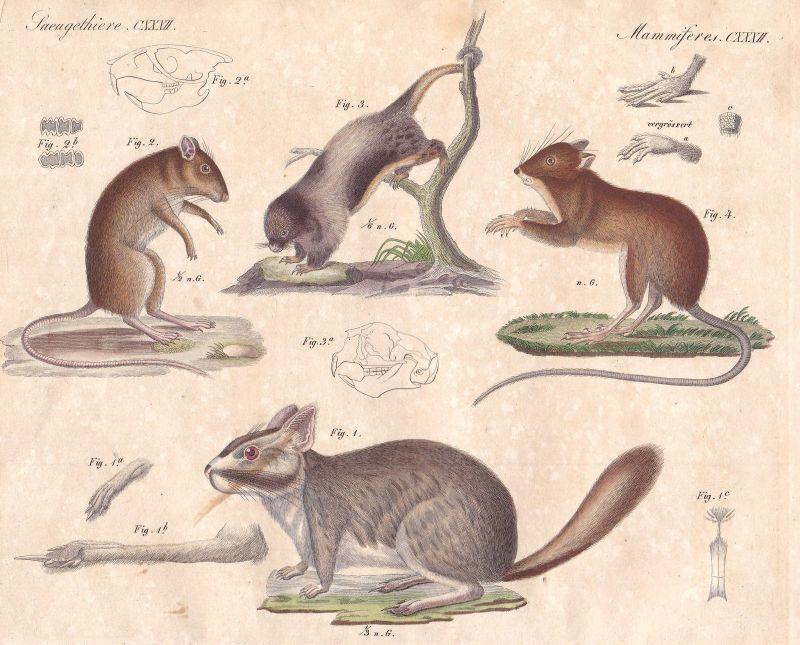 Maus mouse Springmaus dipodidae Viscacha plains viscacha Bertuch 1800