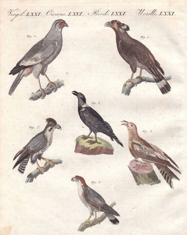 Falke hawk Falken hawks Afrika Africa Vogel bird Vögel birds Bertuch 1800