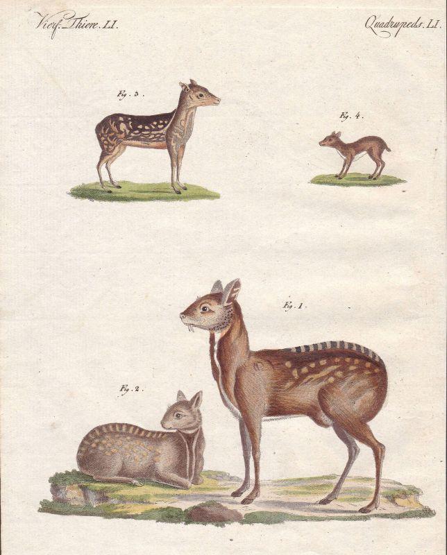 Moschustier musk deer Hirsch Paarhufer even-toed ungulate Säugetier Bertuch 1800
