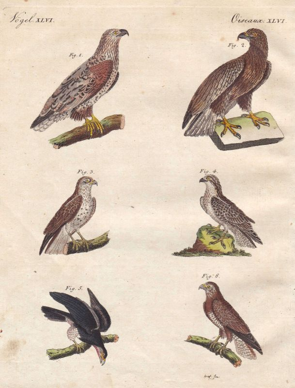Adler eagle Falke Bussard buzzard hawk Vogel bird Vögel birds Bertuch 1800