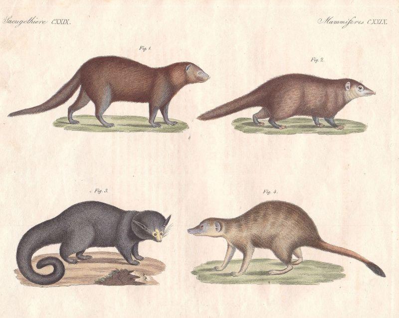 Erdmännchen meerkat Surikate Mangusten mongooses Binturong Bertuch 1800
