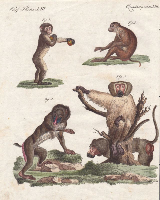 Mandrill Mantelpavian hamadryas baboon Affe monkey Affen monkeys Bertuch 1800
