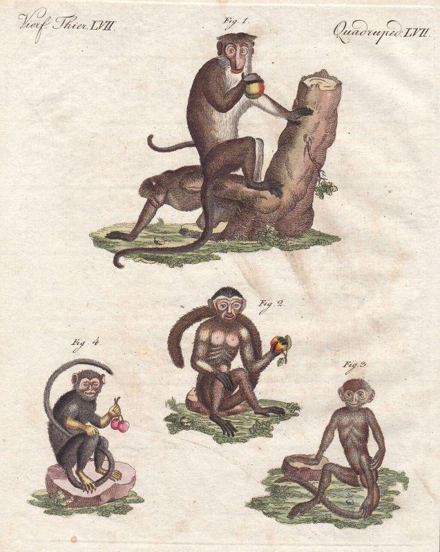 Affe monkey Affen monkeys Primat primate Primaten primates Saguinus Bertuch 1800