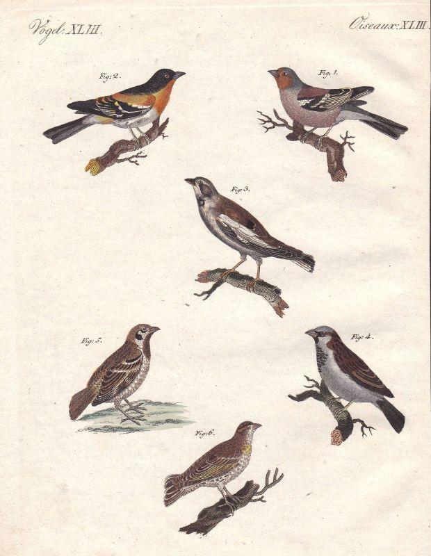Finken Finch Sperlinge Sparrow Haussperling Vogel bird Vögel birds Bertuch 1800