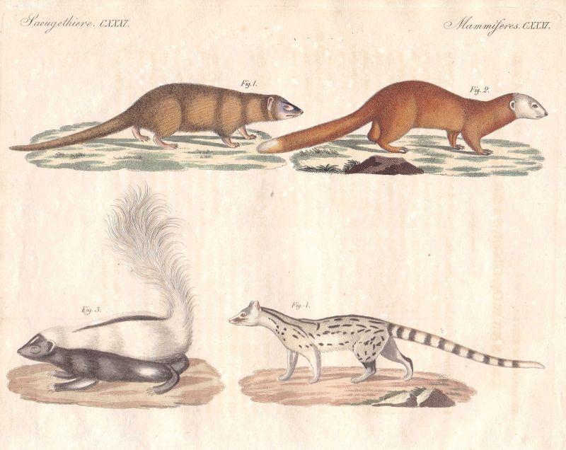 Mangusten mongooses Stinktier skunk Frettchen ferrets Säugetier Bertuch 1800