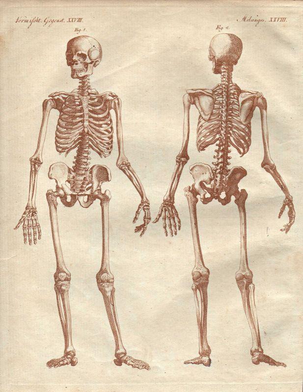 Skeleton skeletons Skelett Skelette anatomy Anatomie human body ...
