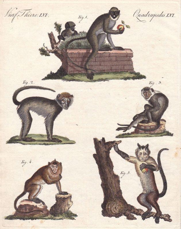 Affen monkeys Affe monkey Rußmangabe sooty mangabey Primat primate Bertuch 1800