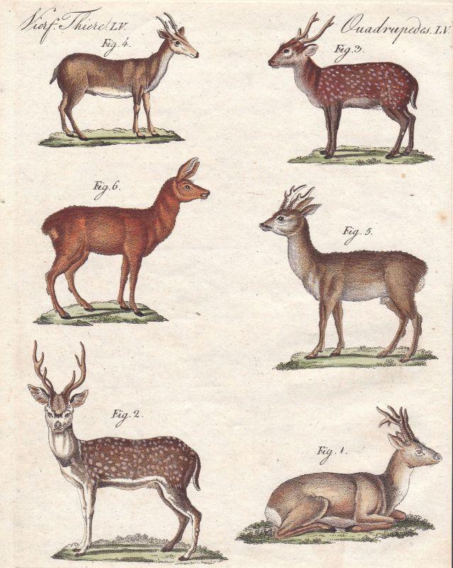 Reh Rehe deer Hirsch Hirsche Muntjak muntjac Ahu Paarhufer Bertuch 1800