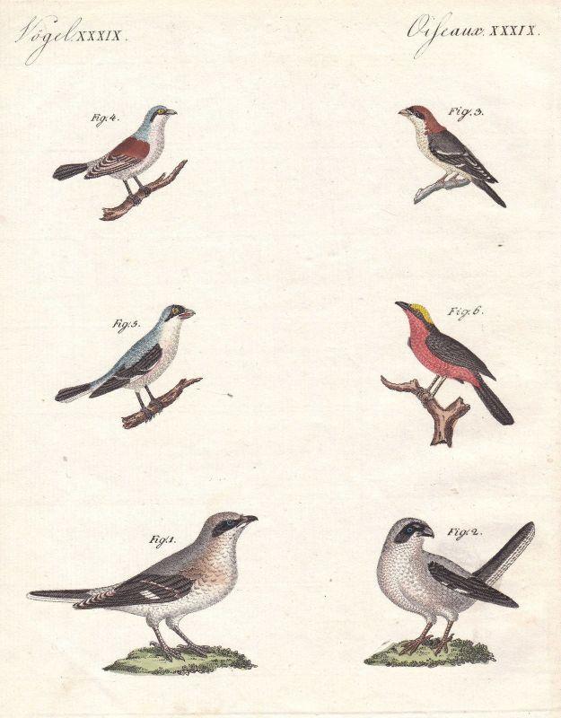 Vogel bird Vögel Würger shrike Sperlinge sparrow Sperlingsvögel Bertuch 1800