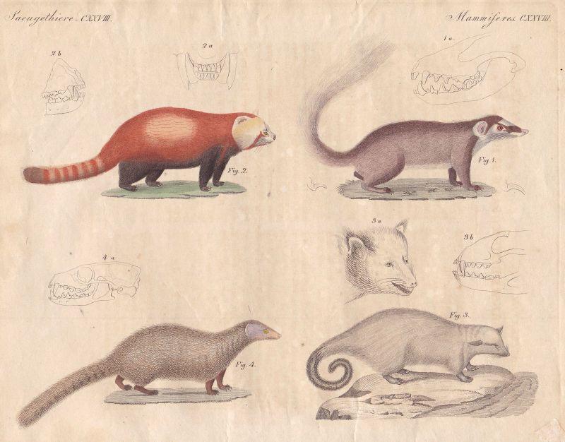 Marde rmarten Raubtier predator Dachs badger Mangusten mongooses Bertuch 1800
