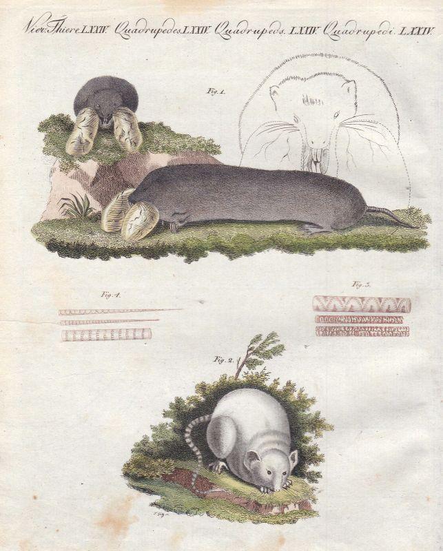 Ratte rat Ratten rats Maus Hausmaus house mouse Mäuse Bertuch 1800
