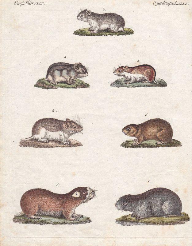 Maus mouse Rennmaus gerbil Nagetiere rodent Nagetier Säugetier Bertuch 1800