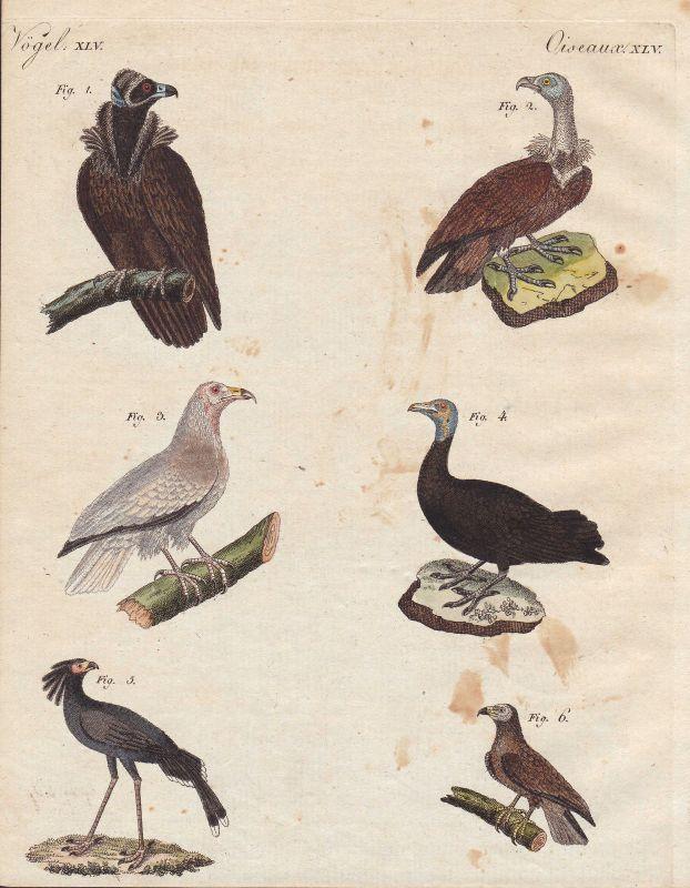 Geier vulture Sekretär secretary Greifvogel Vogel bird Vögel birds Bertuch 1800