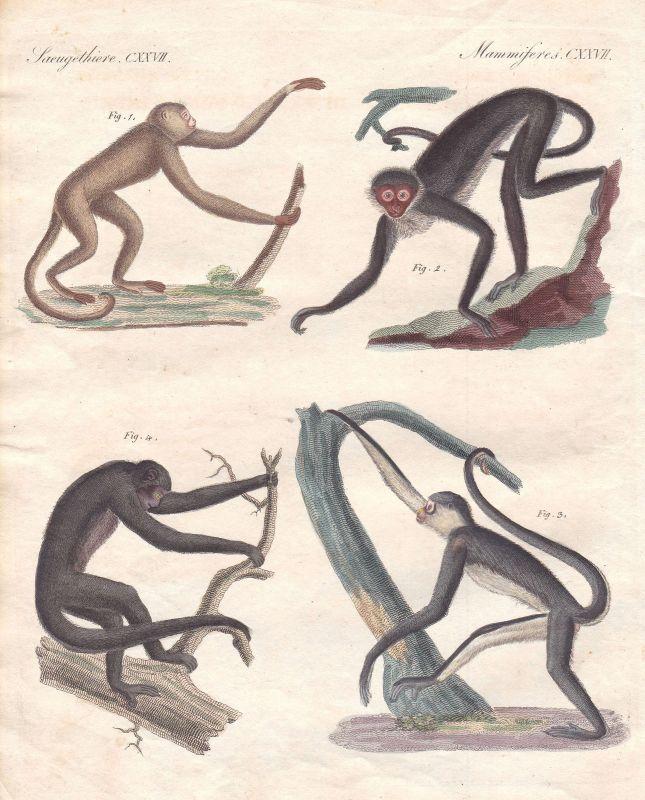 Primat primate Affe monkey Brasilien Brasil Amerika America Affen Bertuch 1800