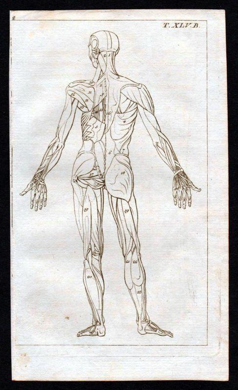 Ca. 1800 muscles Körper Muskeln Anatomie anatomy Medizin medicine ...