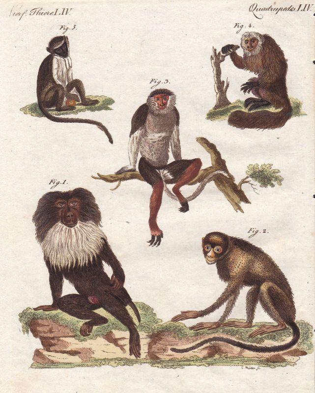 Affen monkeys Affe monkey Sakiaffen pitheciidae Primaten primates Bertuch 1800
