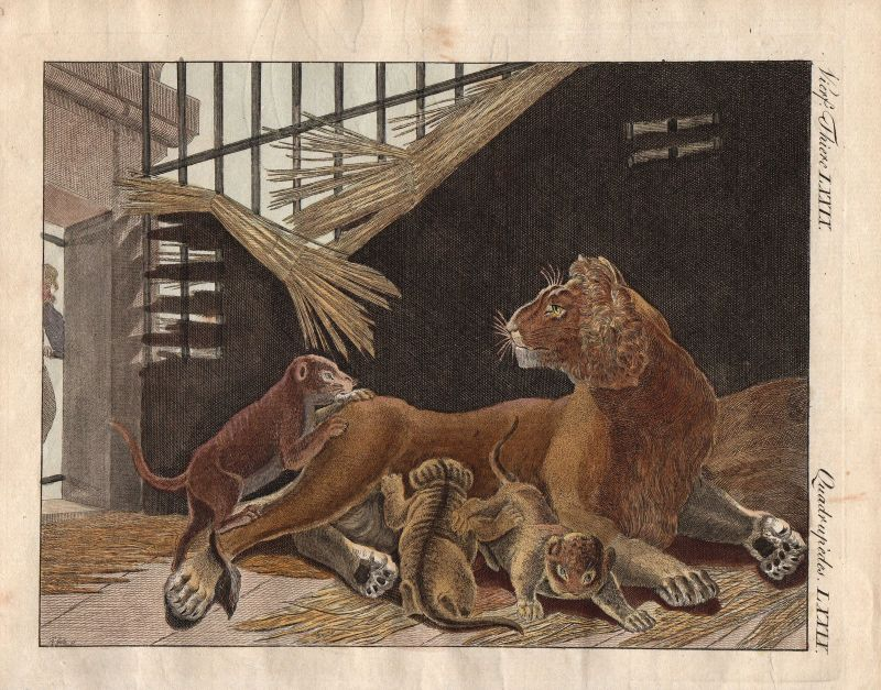 Löwin lioness Löwe lion cub cubs Bertuch Kupferstich engraving 1800