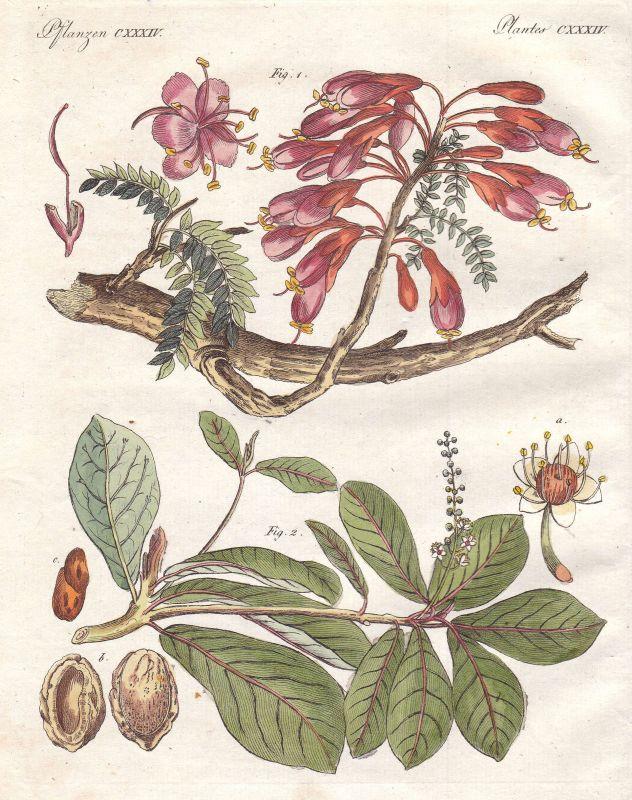 Katappenbaum terminalia catappa Baum tree Pflanze plant Pflanzen Bertuch 1800