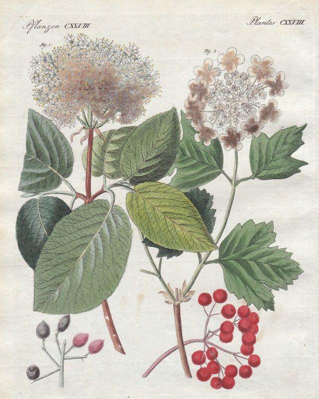 Schneeball viburnum Pflanze plant Pflanzen plants Blume flower Bertuch 1800