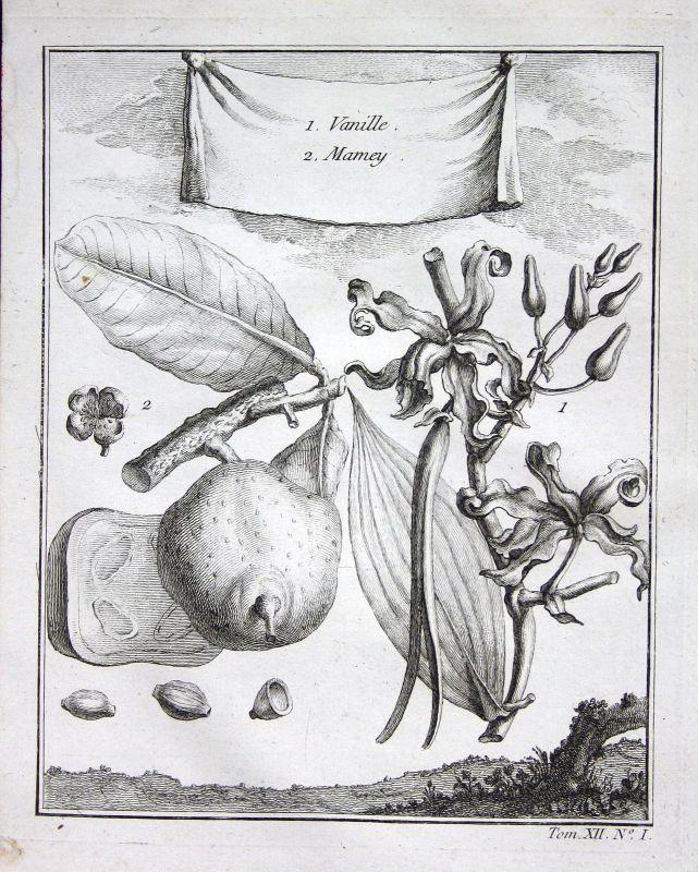 Ca. 1750 Vanille vanilla Sapote sapota Botanik botany Kupferstich antique print