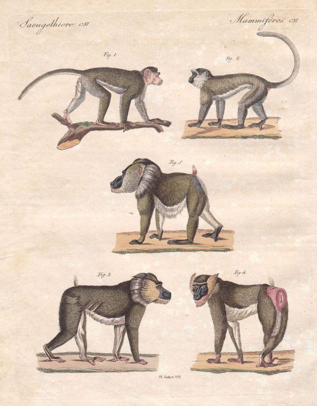 Meerkatzen guenon Grünmeerkatze Vervet Drill Affe monkey Affen Bertuch 1800