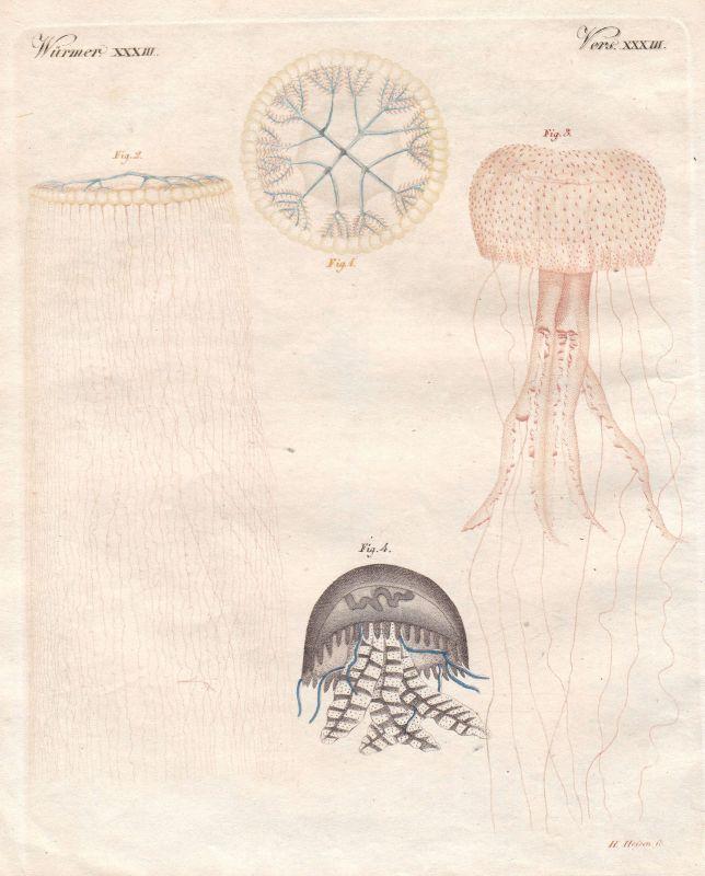 Aequorea Pelagia pelagia Würmer worms Wurm worm Bertuch 1800