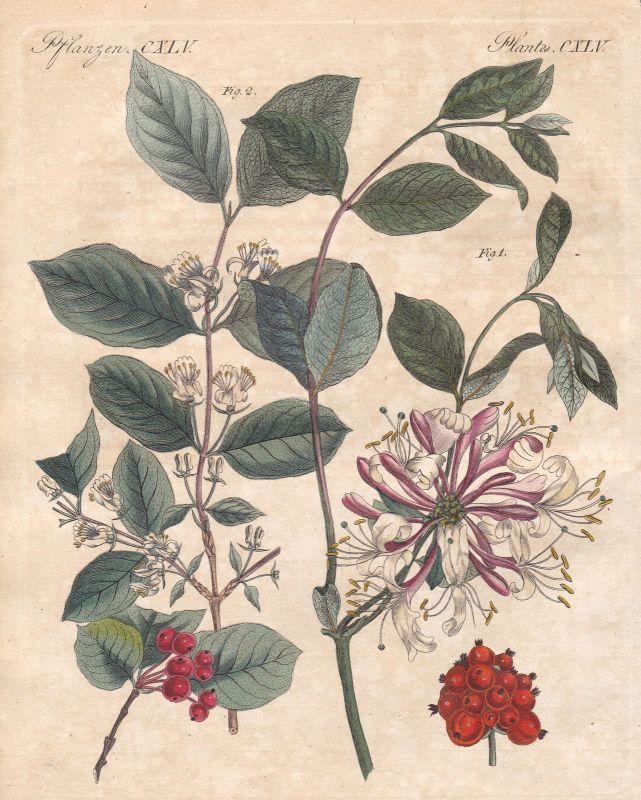 Heckenkirschen honeysuckle Geißblatt Pflanzen plants Pflanze plant Bertuch 1800