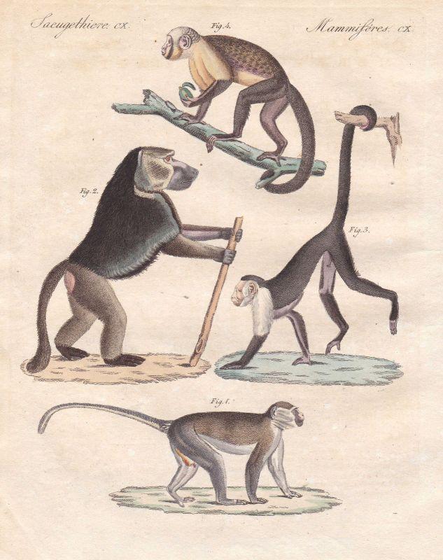 Grünmeerkatze grivet Kapuzineraffen capuchin monkey Affe monkey Bertuch 1800
