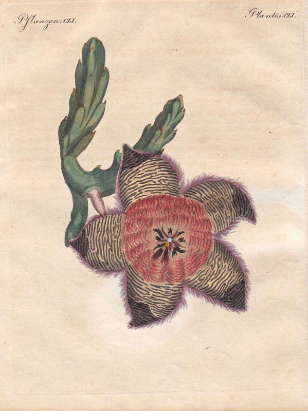 Stapelien stapelia Blume flower Afrika Africa Pflanze plant Bertuch 1800