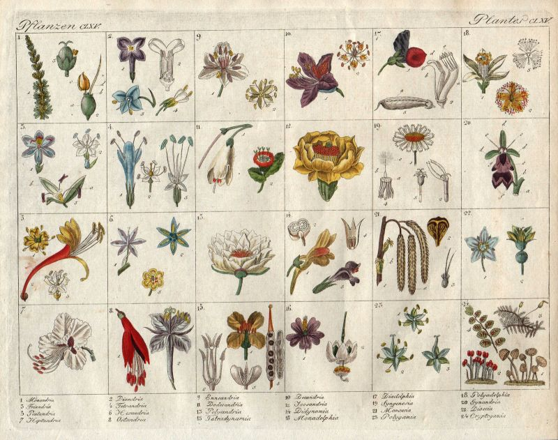 Linnaean taxonomy Sexualsystem der Pflanzen Botanik botany Bertuch 1800