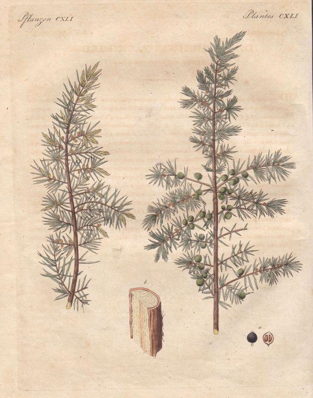 Wacholder juniper Gewächse Pflanzen plants Pflanze Wacholderbeere Bertuch 1800