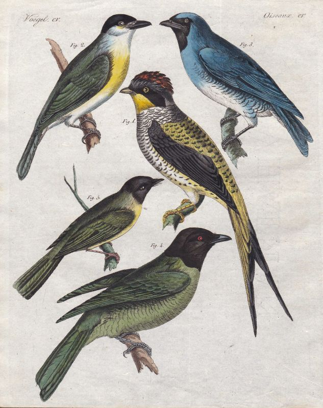 Fruchtfresser Vogel bird Vögel birds Phibalura Sperlinge sparrow Bertuch 1800
