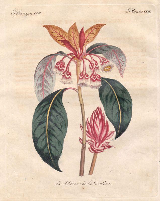Pflanze plant Pflanzen plants China Prachtglocke Enkianthus Bertuch 1800