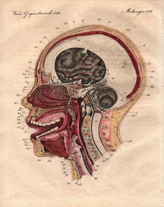 Geruch smell Menschliche Nase human nose Anatomie anatomy Bertuch ...
