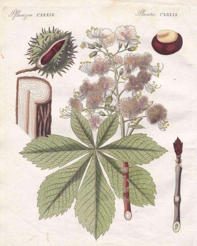 Kastanien Kastanie chestnut chestnuts Baum tree Pflanze plant Bertuch 1800