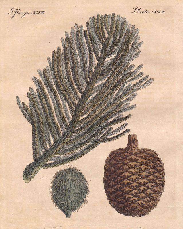 Riesentanne Tanne Tannen fir Baum tree Australien Australia Bertuch 1800