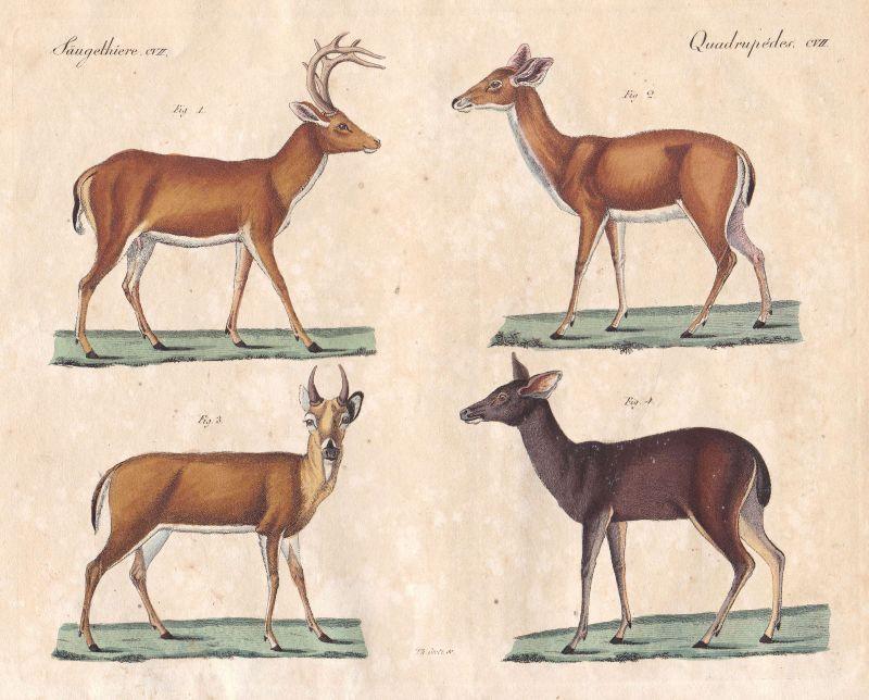 Hirsch deer Hirschkuh Paarhufer even-toed ungulate Geweih antler Bertuch 1800