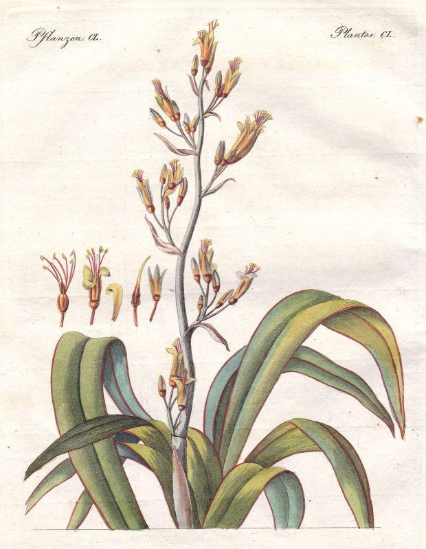 Neuseeländer Neuseelandflachs Flachs Pflanze plant Pflanzen plants Bertuch 1800