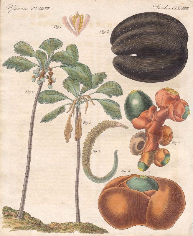 Kokosnuss Kokospalme coconut coco Pflanzen plants Pflanze plant Bertuch 1800