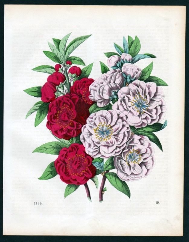 1860 - Heckenrose Blume flower Blumen flowersLithographie lithograph