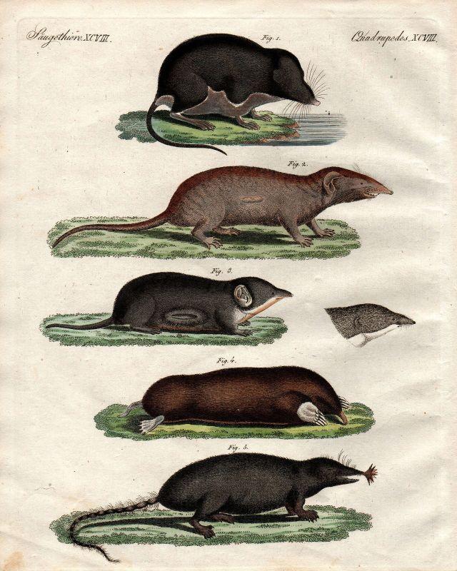 Wasserspitzmaus water schrew mole Wasserwurf Spitzmäuse Bertuch 1800