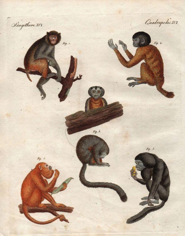Affe Affen monkeys Uakaris uakari Brüllaffen howler monkey Bertuch 1800