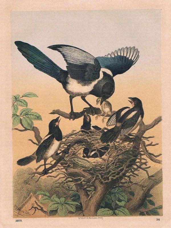 1869 - Elster Elstern Nest Vogel Vögel birds Lithographie lithography