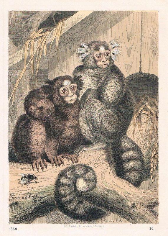1869 - Seidenaffe Affen Affe monkey Lithographie lithography