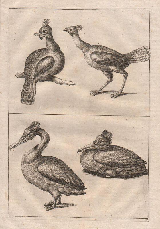 Kormoran Vogel Vögel - cormorant bird birds etching Kupferstich antique print