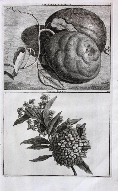 De Brujin Baple-Kaminie fruit Obst flower Blume fleur Pflanzen 1718 Kupferstich