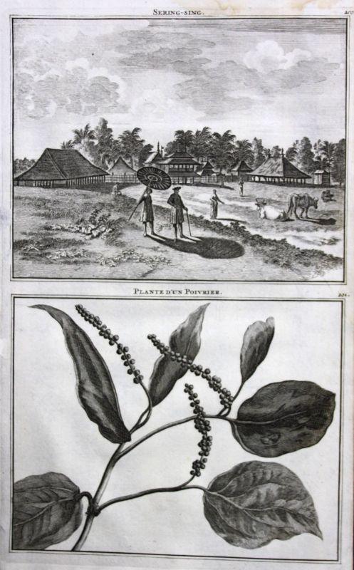 De Brujin Pfeffer Pepper poivrier plant Pflanzen Srengseng Jakarta antique print