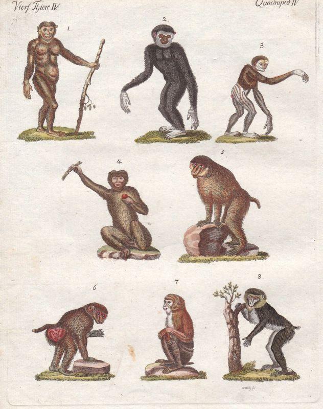 Mandrill Orang-Utans orangutan Affe monkey Affen monkeys Arten Bertuch 1800