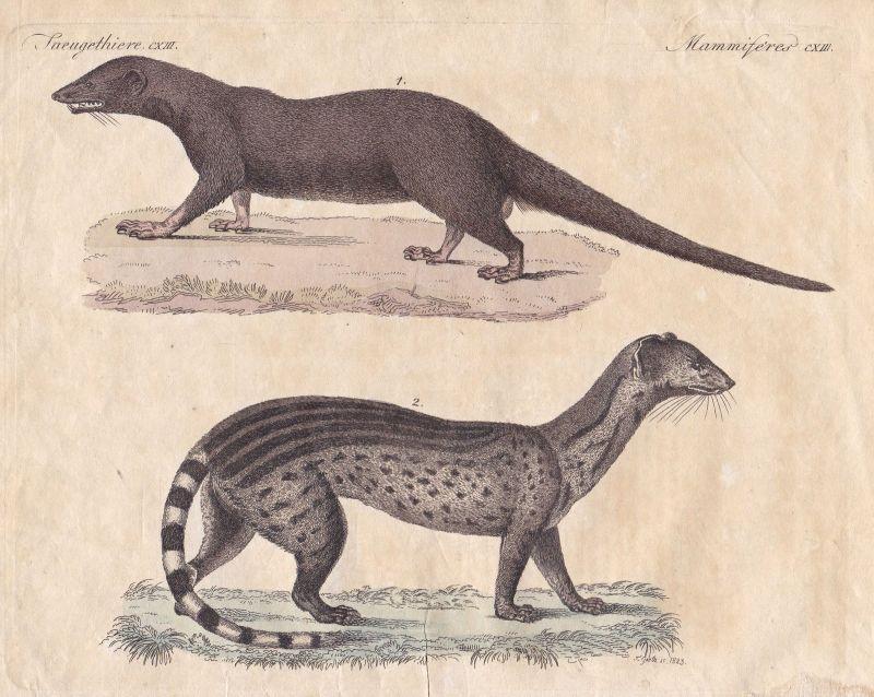 Mangusten mongooses Manguste mongoose Raubtier predator Bertuch 1800